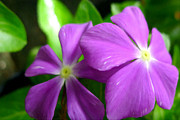 Watercress Art - Purple Periwinkle flower by Lanjee Chee