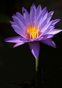 Lotus Lily Posters - Purple Petals Poster by Sabrina L Ryan