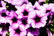 Digital Framed Prints - Purple Petunia Flowers Digital Painting Framed Print by Paul Velgos
