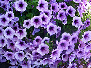 Pretty Flowers Framed Prints - Purple Petunias Framed Print by Aimee L Maher