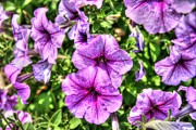 Ken Reardon - Purple Petunias