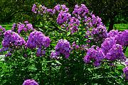 Purple Phlox Bush Print by Jeannie Rhode Photography