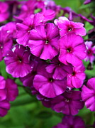 Phlox Framed Prints - Purple Phlox Framed Print by Christiane Schulze