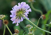 Pincushion Flower Prints - Purple Pincushion Flower Print by Suzanne Gaff