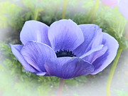 Robert Ball - Purple Poppy