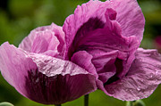 Papaver Orientale Prints - Purple Poppy Print by Sabine Edrissi