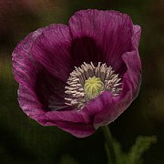 Aperture Prints - Purple Poppy Print by Vicki DeVico