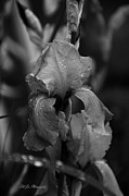 Purple. Iris. Buds Prints - Purple Rain In Black and White Print by Jeanette C Landstrom