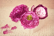 Carolyn Rauh - Purple ranunculus