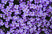 Perrenials Prints - Purple Rockcress Print by Carol Groenen