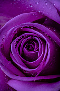 Purple Roses Prints - Purple Rose Close UP Print by Garry Gay