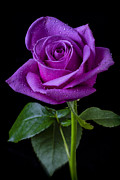 Wet Rose Prints - Purple Rose Print by Garry Gay