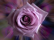 Purple Rose Print by Thomas Woolworth