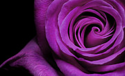 Wedding Pyrography Prints - Purple Roses closeup Print by Boon Mee