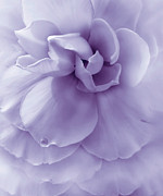 Begonias Posters - Purple Ruffled Begonia Flower Poster by Jennie Marie Schell