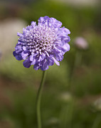 Yellow Brown Posters - Purple Scabious columbaria Poster by Tony Cordoza