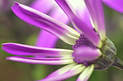 Senetti Prints - Purple Senetti I Print by Cate Schafer