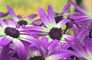 Senetti Metal Prints - Purple Senetti III Metal Print by Cate Schafer