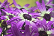 Senetti Prints - Purple Senetti IV Print by Cate Schafer