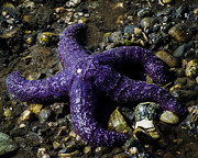 Puget Sound Photos - Purple Starfish  by Puget  Exposure