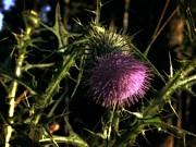 Michelle Calkins - Purple Thistle Flower