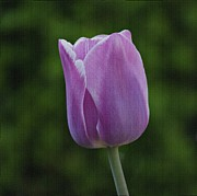 Indiana Art Art - Purple Tulip by Sandy Keeton