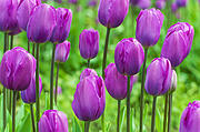 Purple Tulips Print by Dee Browning