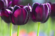 Tulip Bud Framed Prints - Purple tulips Framed Print by Heiko Koehrer-Wagner