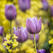 Jeff Abrahamson - Purple Tulips in...