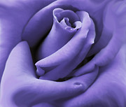 Closeup Photo Posters - Purple Velvet Rose Flower Poster by Jennie Marie Schell