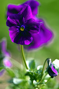 Purple Petals Prints - Purple Viola Print by Sharon  Talson