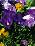 Robert Lozen Metal Prints - Purple Violas Metal Print by Robert Lozen