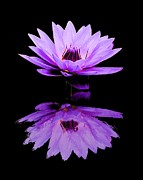 Dallas Art - Purple Water Lily by Elizabeth Budd