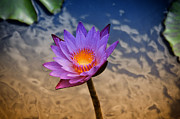 Fernando Cruz - Purple Water Lily