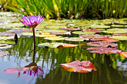 Pedals Photo Prints - Purple Water Lily Flower in Lily Pond Print by Susan  Schmitz