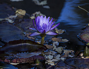 Gary Rieks - Purple Water Lily