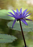 Florida Flower Prints - Purple Water Lily in the Shade Print by Sabrina L Ryan