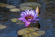 Lorri Crossno Framed Prints - Purple Water Lily Framed Print by Lorri Crossno