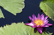 Gardens And Flowers - Purple Waterlilly by Crystal Wightman