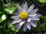 Waterlily Poster Posters - Purple waterlily Poster by Christina Rahm