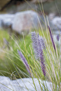 Close Focus Nature Scene Prints - Purple Wild Fountain Grass Print by Janice Sullivan