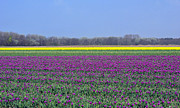 Spring Series Prints - Purple With Golden Lining. Fields Of Tulips Series Print by Ausra Paulauskaite