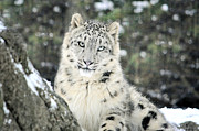 Snow Leopards Prints - Purrfect Print by Emily Stauring