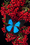 Red Bushes Framed Prints - Pyracantha and Butterfly Framed Print by Garry Gay
