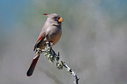 Bill Morgenstern - Pyrrhuloxia