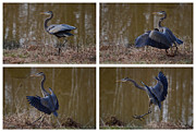 North Carolina Photos - Quadriptych Landing Heron - 9529d by Paul Lyndon Phillips