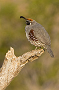 Quail Art - Quail on a stick by Bryan Keil