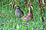 Hunting Bird Metal Prints - Quail Metal Print by Scott Hansen