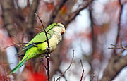 Monk Parakeet Metal Prints - Quaker Parrot #1 Metal Print by David Cutts