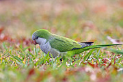Monk Parakeet Metal Prints - Quaker Parrot #2 Metal Print by David Cutts